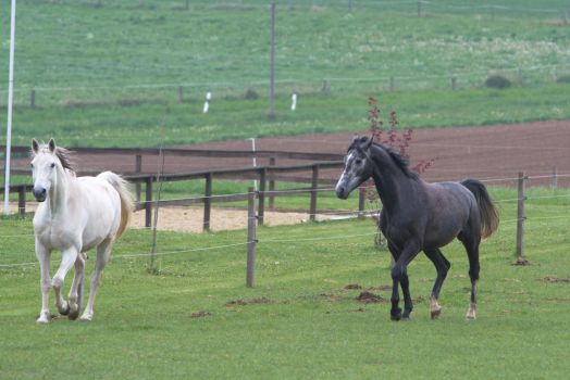 Grey Warmblood Trotting on Pasture by LuDa-Stock