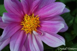Pink Dahlia 2 by poetcrystaldawn