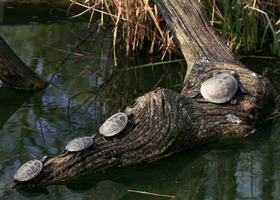 Turtle Parade. by FSGPhotography