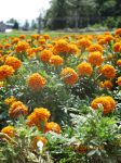 Marigolds. by Whitewest