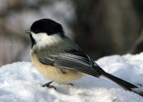 Chickadee on snow by sgt-slaughter