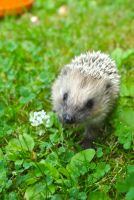 Little cute hedgehog by Morsoilija