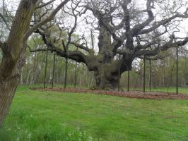 sherwood forest:3 the major oak by cannibalmoth