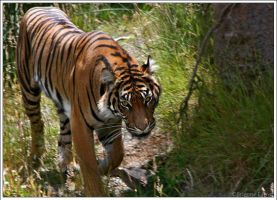 Sumatran Tiger by oOBrieOo