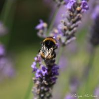 Bumblebee on lavender by oxalysa