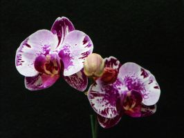 Charlotte's Orchid by tchalla811