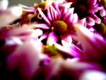 Pink Love by milads2001