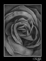 Rose - Pencil Drawing by heathwreed