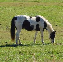 .Horse In Field Stock Photo DSC 0391 copy 2 by annamae22