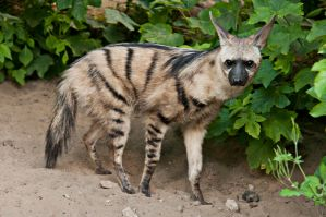 Aardwolf01 by Stockimal