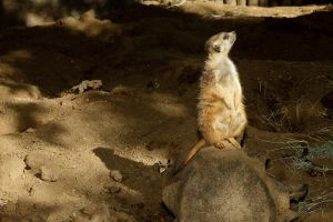 Meerkat at the WAP by dkbarto