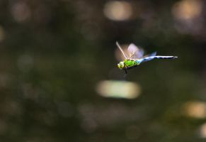 Emperor Dragonfly by DrHamster