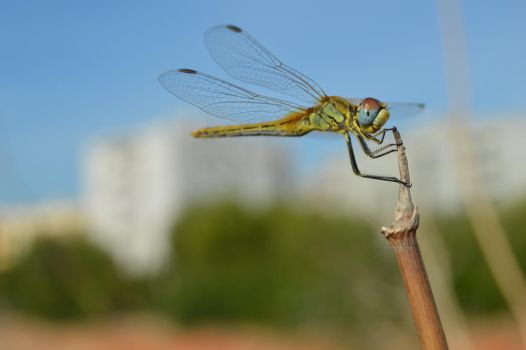 Dragonfly Eating by VictorSevilla