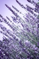 Lavender edit 1 by daniiigirl