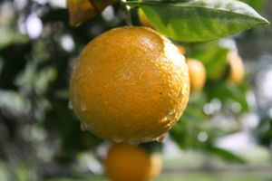 Wet Orange Tree by MickeyMouse-ACE
