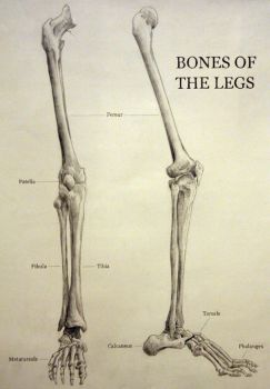 Leg Anatomy by tranmonster