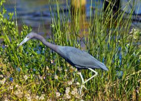 Blue Heron on the prowl by drewii57
