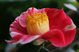 camellia for Skyfan 112 by ingeline-art