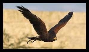 Harris Hawk In Flight by PeteLatham