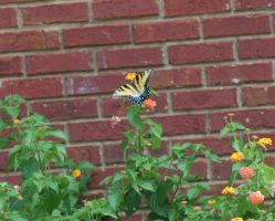 Tiger Swallowtail Butterfly 2 by cupycake66