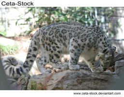 Snow Leopard 3 by Ceta-Stock