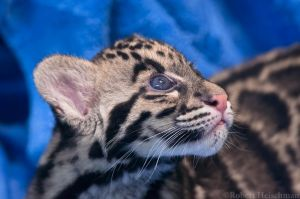 Clouded Leopard Cub 0161 by robbobert