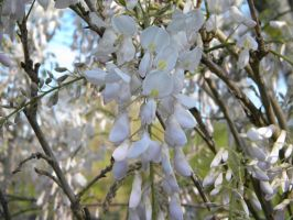 Wisteria sinensis alba by TheLordTaxus