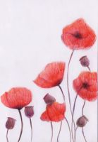 Poppies by lenivecc