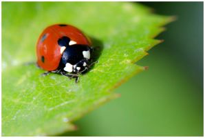 Ladybird.... by Malcolm21