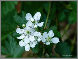 Wild rasberry flowers by Mogrianne