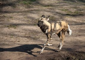 Running African Wild Dog by ChristopherMarx
