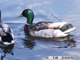 Ducks at the pond by samy1504940