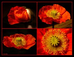 Red Poppy by Escara40