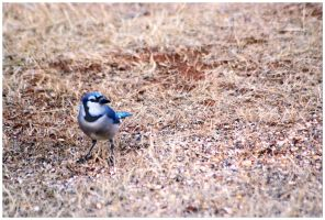 Bluejay by SuicideBySafetyPin