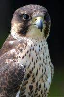 Lanner Falcon Stare by runique