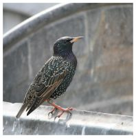 Shiny Starling by Malgorzata-Skibinska
