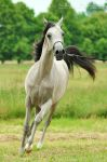 Arabian Horse - 4 by Pebels