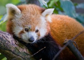 The Red Panda by oetzy