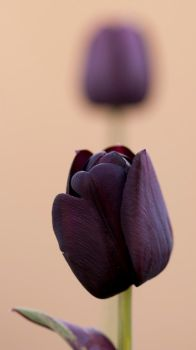 Black Tulip by Abyssinians