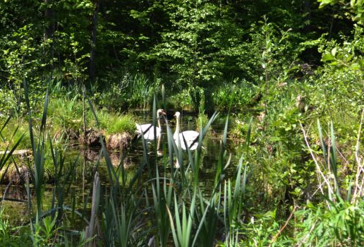 Swans in the swamp by Antalika