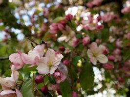 Apple Blossoms 2 by techunit