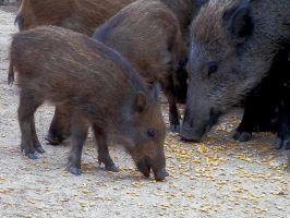 Adult and young wild boars by gonzaleztitorenko