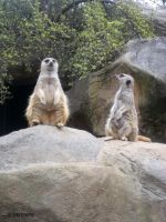 Meerkat Family by mzGALORE