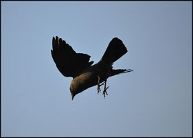 Jackdaw Airlines by FrankAndCarySTOCK