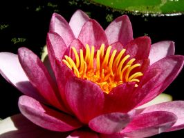 Pink Water Lilies VI by TriciaStucenski
