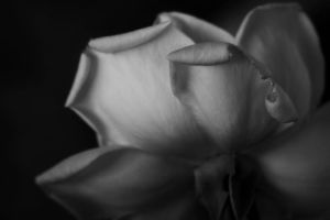 Grecian Rose by ncphotojunkie