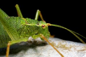 wet Speckled bush-cricket by webcruiser