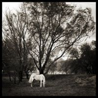 White horse beneath the tree by gennia