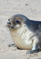 Hooded seal pup by Shadow-and-Flame-86