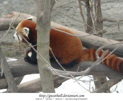 Zoo - Red panda by Gwathiell
